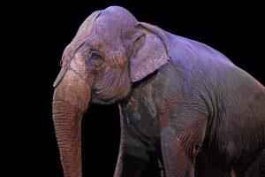 elephant-1412307_960_720