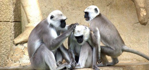 green-monkeys-112275_960_720
